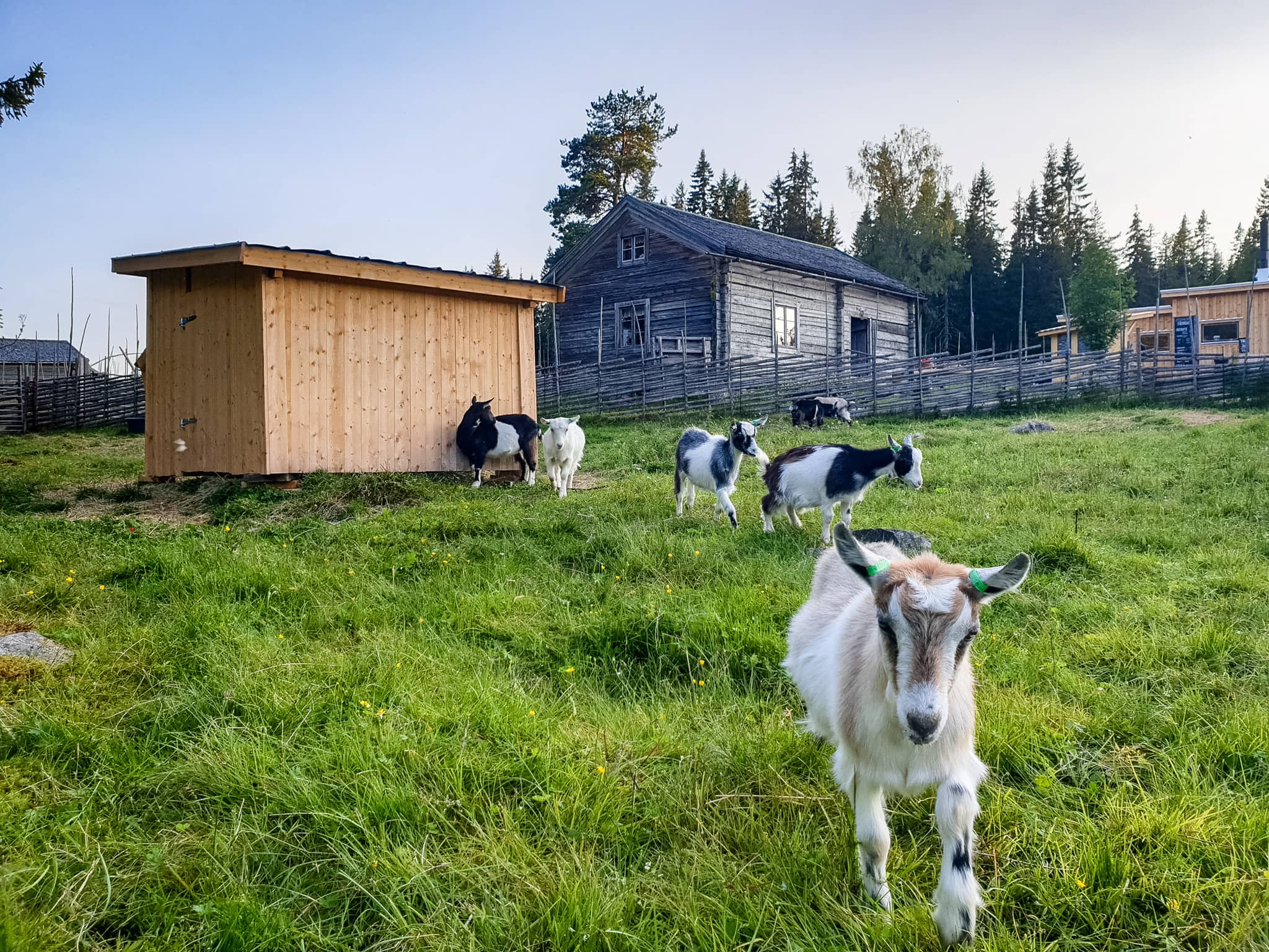 killing på fäbod. goatling on swedish summer farm